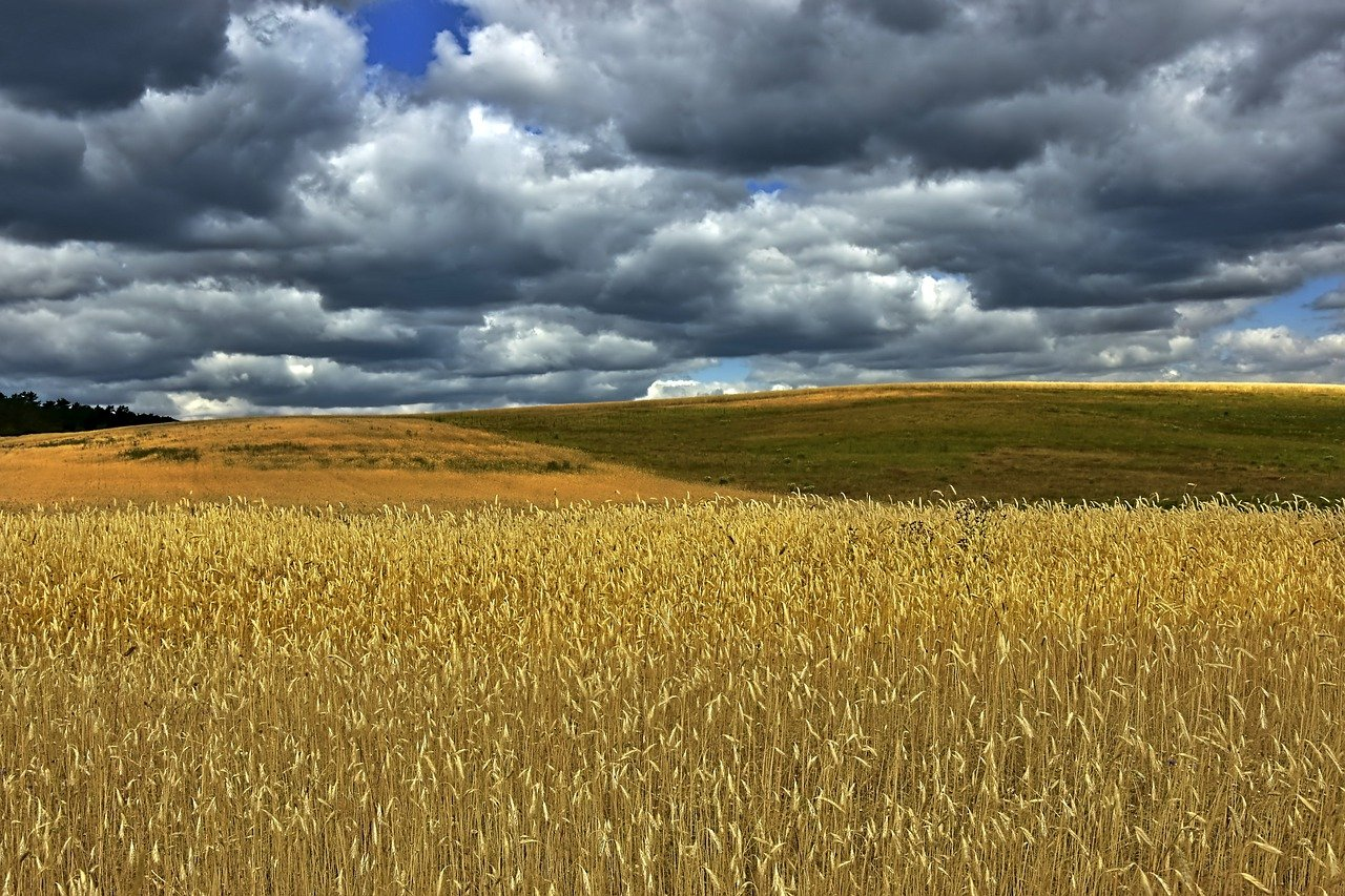 cornfield, field, wheat field